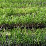 planteskole sukkerrør